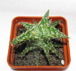 Aloe diskonsii
