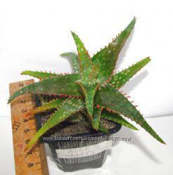 Aloe Marco