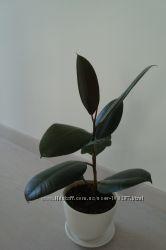 Фикус Робуста и другие ухоженные растения