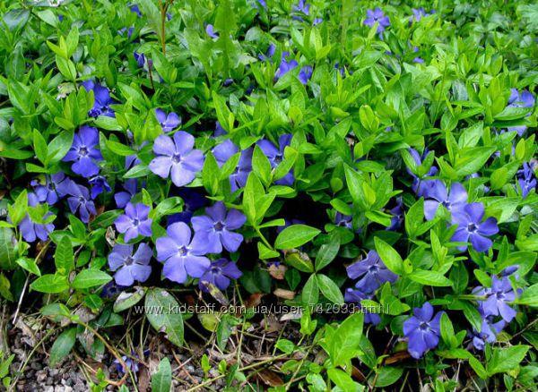 растения для тени гейхеры, брунеры, барвинок