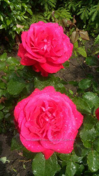 саженцы корнесобственных  роз весна 2021 ч1
