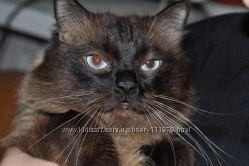 кот тоша предлагает вязку кошке балинез
