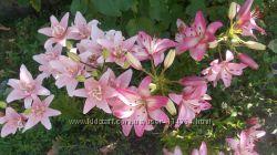Продам цветущие лилии