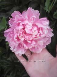 Пионы, пион розовый