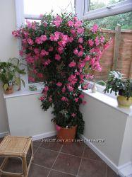 Дипладения Классик Рэд. цветки очень крупные