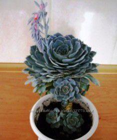 Суккулент Echeveria Pollox каменистая роза для минисада