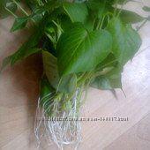 Саженцы батата. Источник витамина В6