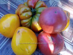 Свежие помидоры с грядки