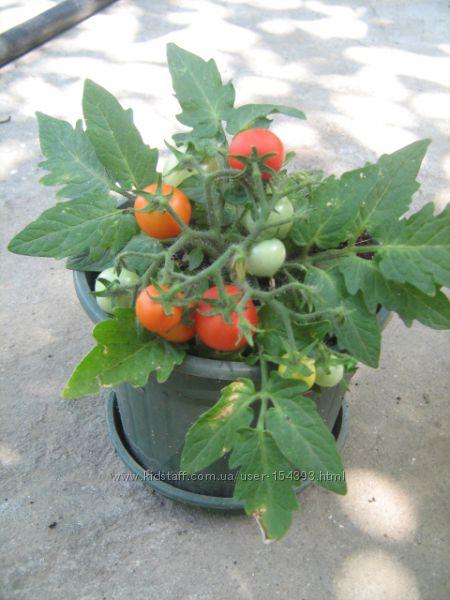 Насіння томатів кімнатних 4 сорти