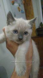 Тайские котята с глазами небесного цвета