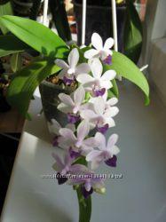 орхидея Dtps. Tzu Chiang Sapphire