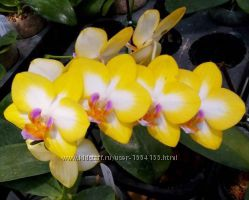 Орхидея P. Yen Shuai Sweet Girl&acuteShiny Girl&acute
