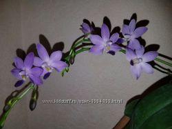 синяя орхидея ароматнаяDtps. Purple Martin v. blue. размер 2, 5, цена 1400 руб