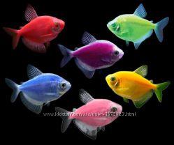 Аквариумная рыбка Тернеция GloFish