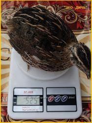 Яйца инкубационные перепела Фараон селекция Испания.