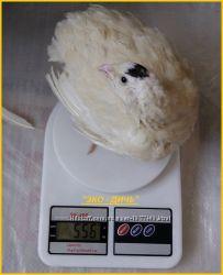 Яйца инкубационные перепела Белый Техасец - бройлер США Texas A & M.