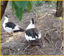 Мускусные утки, индоутка Голландия, Германия на племя.