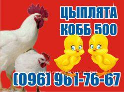 Цыплята бройлер КОББ-500. Венгрия