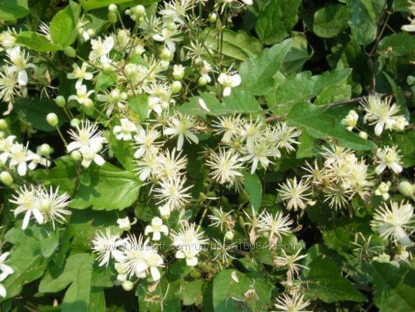 клематис мелкоцветковый белый посадка и уход