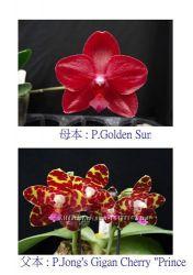 Орхидея P. Golden Sun P. Jong&acutes Gigan CherryPrince p-p 2, 5