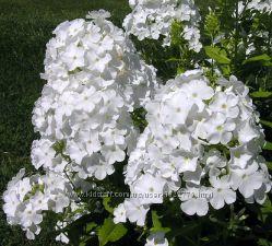 Растения для белого уголка сада ч. 2