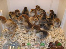 Цыплята суточные Кучинские-Юбилейные 18 гр.