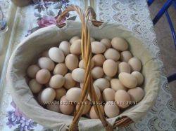 Инкубационное яйцо кур породы Кучинские-Юбилейные