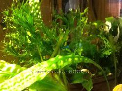 Растения аквариумные, в горшках 2шт.