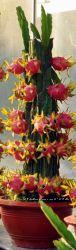 Продам кактусы питахая