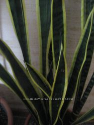 Сансевьера - щучий хвост